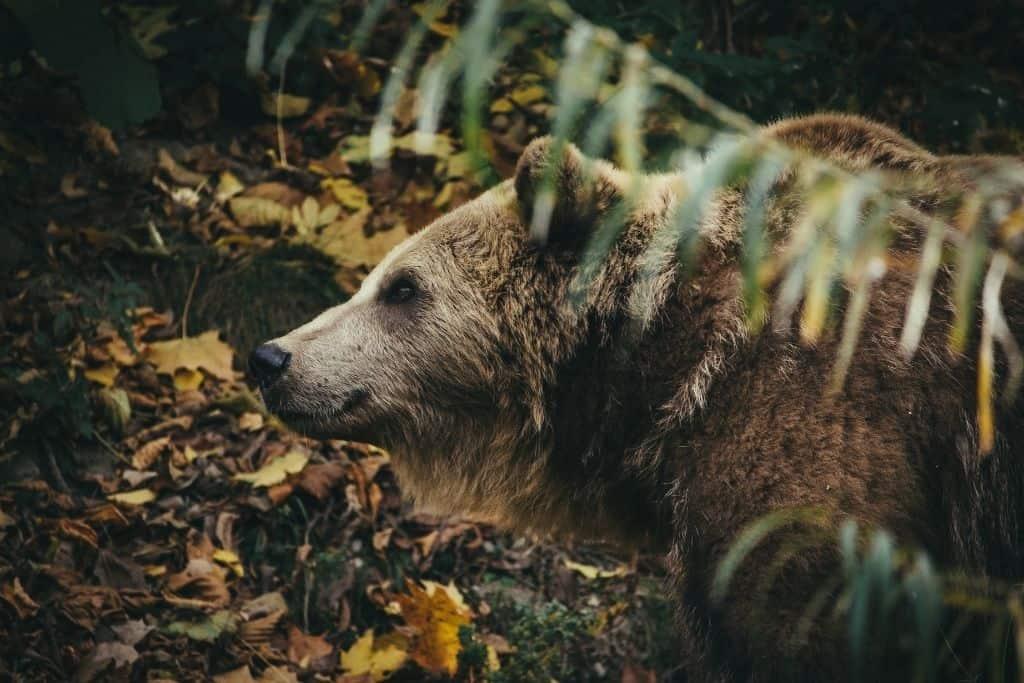 Beren zijn het symbool voor bern